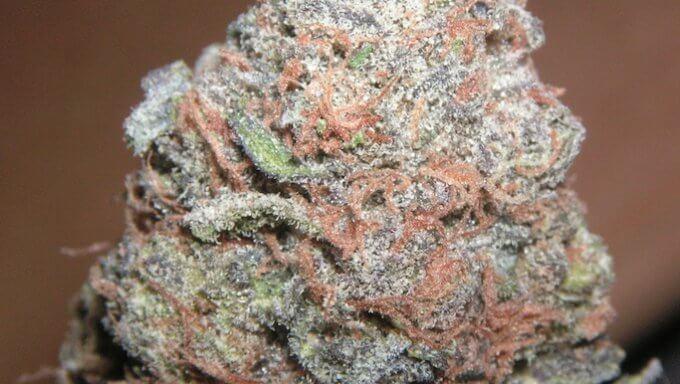 Purple Kush marijuana bud